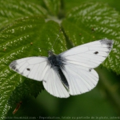 Photo de Papillon - piéride