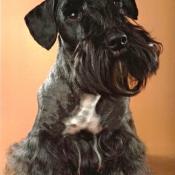 Photo de Terrier tcheque
