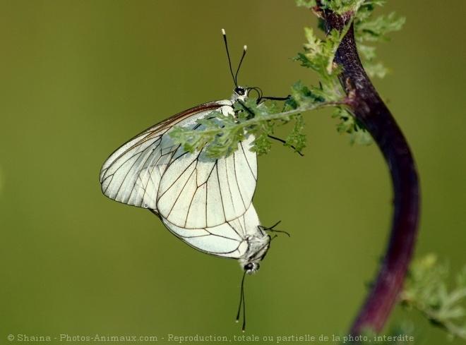 Photo de Papillon - le gazé