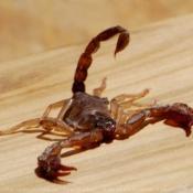 Photo de Scorpion