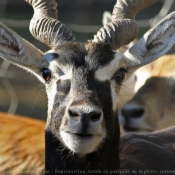 Photo d'Antilope