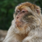 Photo de Singe - macaque