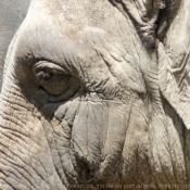 Fond d'écran avec photo d'Eléphant d'asie