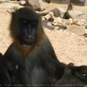 Photo de Singe - mandrill