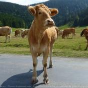 Photo de Vache - blonde d'aquitaine