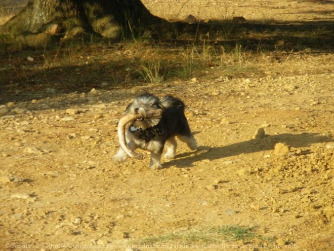 Photo de Petit chien lion
