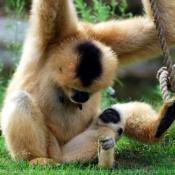Photo de Singe - gibbon