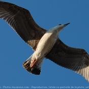 Photo d'Aigle pêcheur