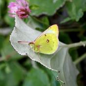 Photo de Papillon - le souci