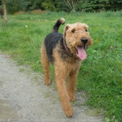 Photo d'Airedale terrier