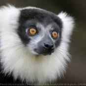 Photo de Lémurien - maki vari noir et blanc