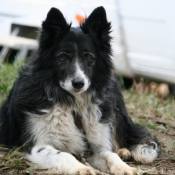 Photo de Border collie
