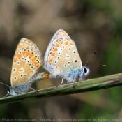 Photo de Papillon - l'azuré du genêt
