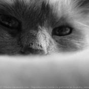 Photo de Ragdoll