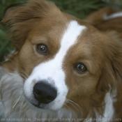 Photo de Petit chien hollandais de chasse au gibier d'eau