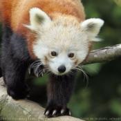 Photo de Panda roux