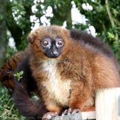 Photo de Lémurien - maki à ventre roux
