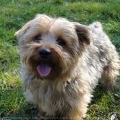 Photo de Norfolk terrier