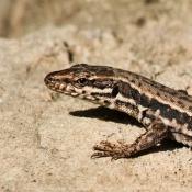 Les fonds d'écran Reptiles de maryole