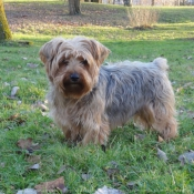 Fond d'écran avec photo de Norfolk terrier