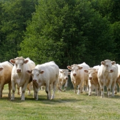 Photo de Vache - montbéliarde