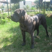 Photo de Chien de cour italien
