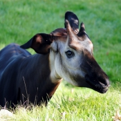 Photo d'Okapi