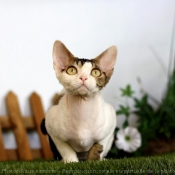 Photo de Devon rex