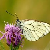 Fond d'écran avec photo de Papillon - le gazé