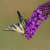 Fond d'écran avec photo de Papillon - machaon