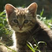 Photo de Chat sylvestre