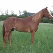 Photo de Rocky mountain horse