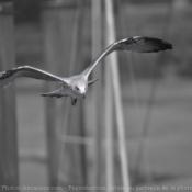 Photo de Goeland