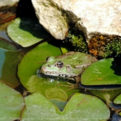 Photo de Grenouille