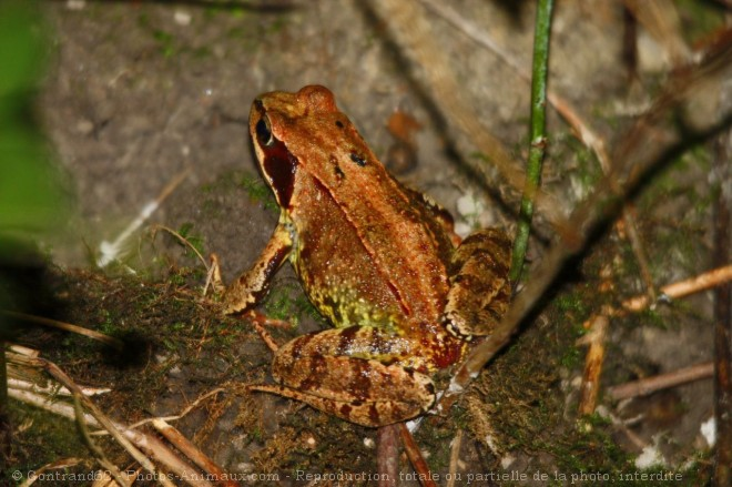 Photo de Grenouille des champs