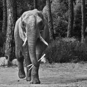 Photo d'Eléphant d'afrique