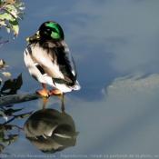 Photo de Canard colvert