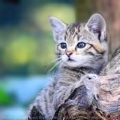 Fond d'écran avec photo de Chat sylvestre