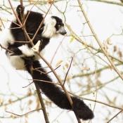 Fond d'écran avec photo de Lémurien - maki vari noir et blanc