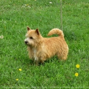 Photo de Norwich terrier
