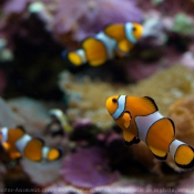 Photo de Poisson clown