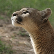 Photo de Puma