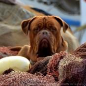 Photo de Mastiff
