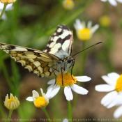 Fond d'écran avec photo de Papillon - demi deuil