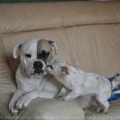 Photo de Bulldog americain