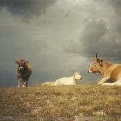Photo de Vache - aubrac