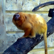 Photo de Singe - tamarin lion doré