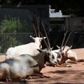 Photo d'Oryx