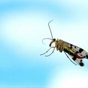 Photo de Mouche scorpion
