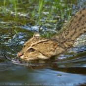 Photo de Chat viverrin  (pêcheur)